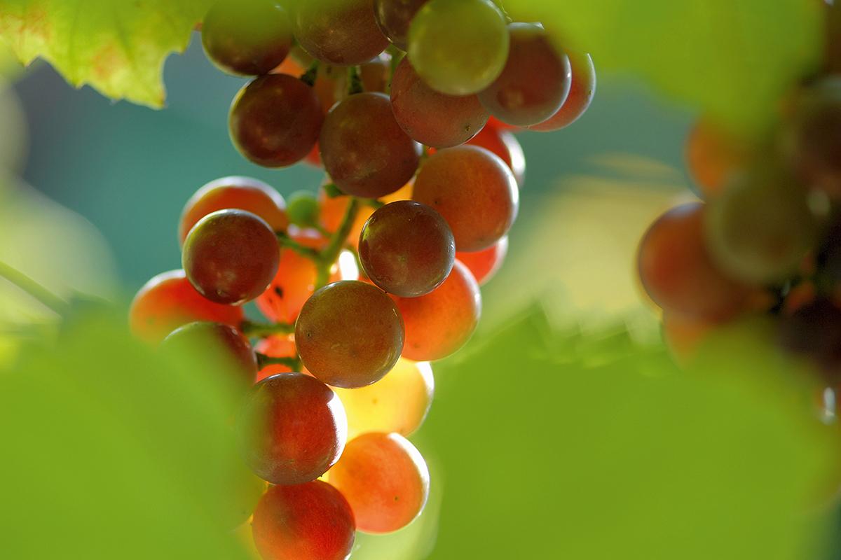 Grappa – Vom Bauernschnaps zur Edelspirituose