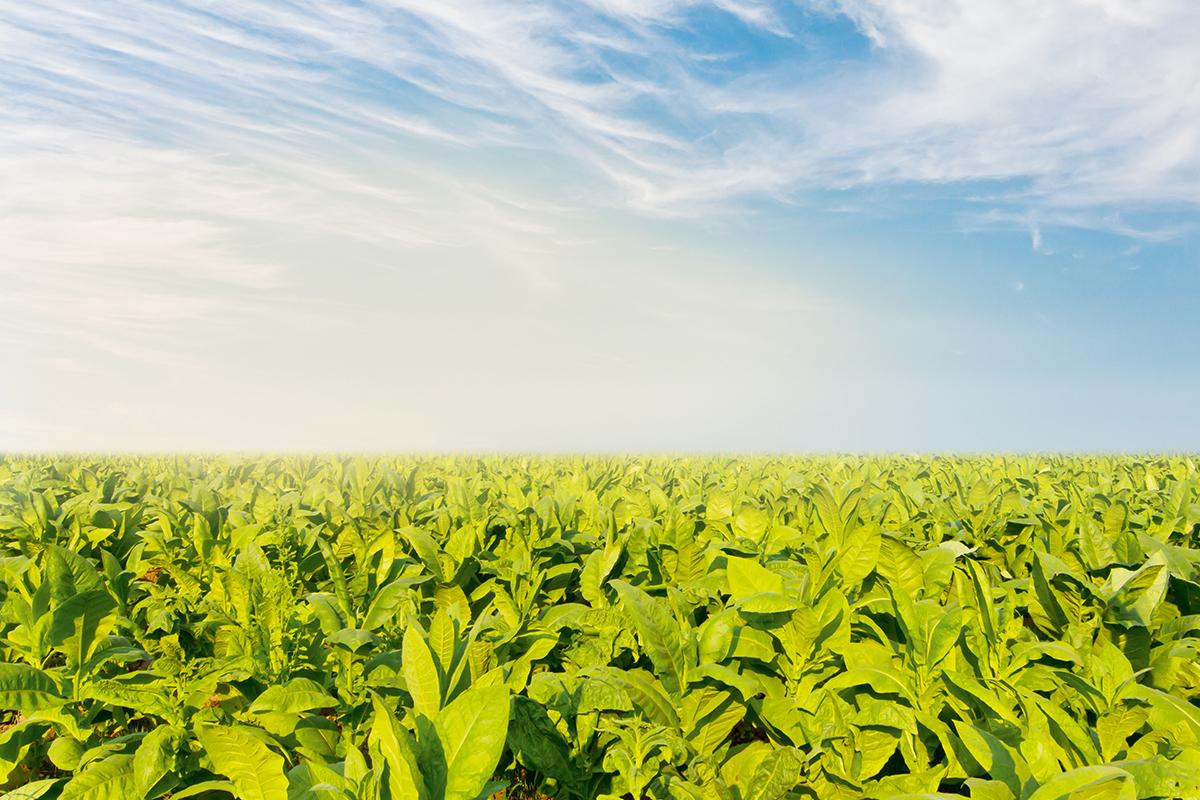 Schweizer Tabakpflanzer: Vom Aussterben bedroht?