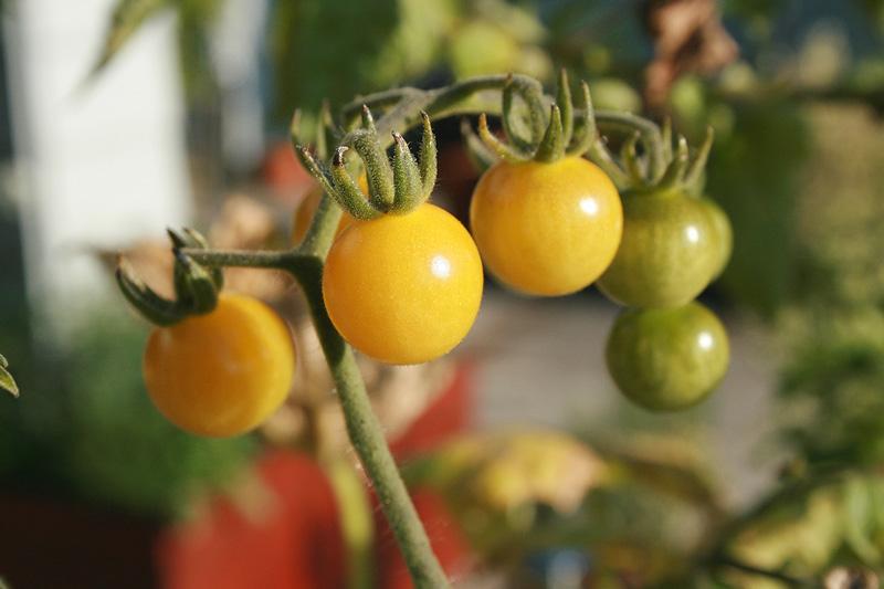 Tomate: Die Vielfalt neu entdeckt