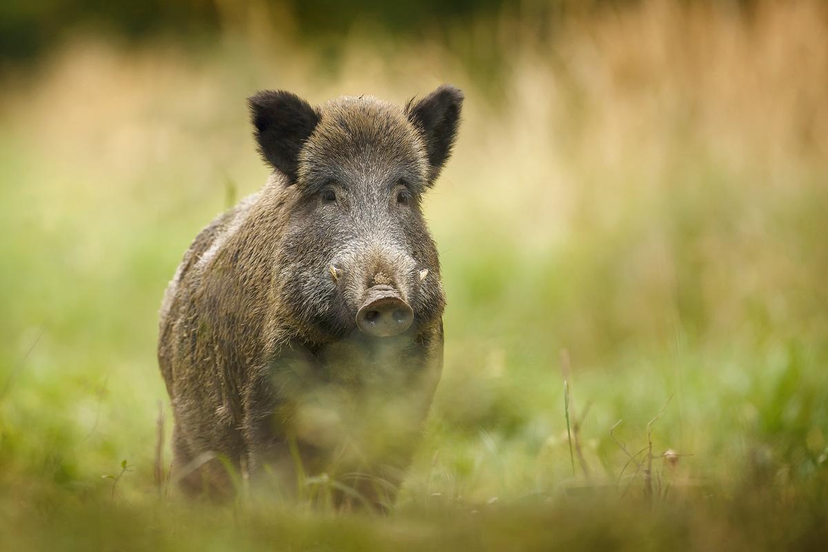 Schweizer Wild: Ein Mythos?